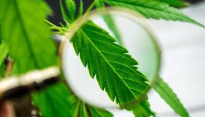 magnifying glass on hemp leaf
