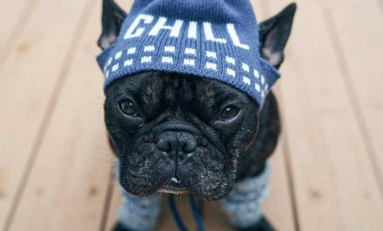 Chill French Bull Dog